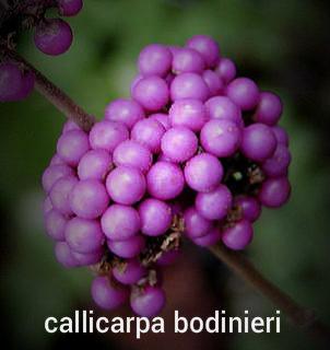 Callicarpa (beauty Berry)