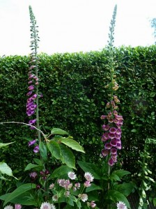 Digitalis Excelsior