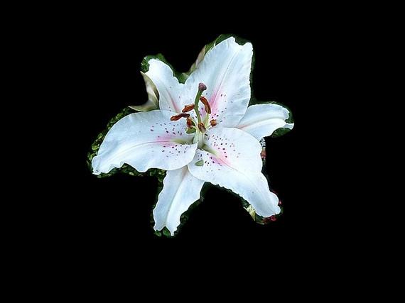 Lily Oriental Muscadet