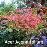 Acer-Acinitifolium[1]
