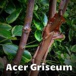 Acer-Griseum[1]