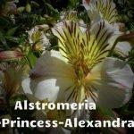 Alstromeria-Princess-Alexandra[1]