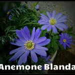 Anemone Blanda March 20th 5