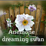 Plant profile - Anemone Dreaming Swan