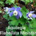 Aquilegia Flabellata Ministar