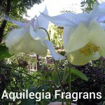 Aquilegia Fragrans 5