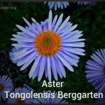 Aster Tongolensis Berggarten (27)