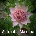 Astrantia Maxima -