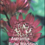 AstrantiaRubyWedding