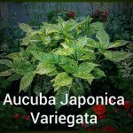 Aucuba Japonica Variegata