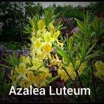 Azalea Luteum (03) - Copy
