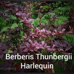 Berberis Thunbergii Harlequin 3