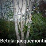 Betula-jacquemontii