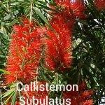 Callistemon Subulatus