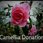 Camellia Donation April 6th - Copy