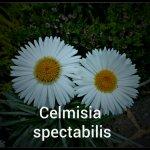 Celmisia spectabilis