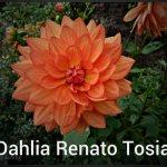 dahlia-renato-tosia-4-copy