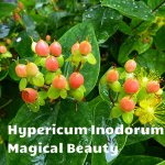 Hypericum magical beauty