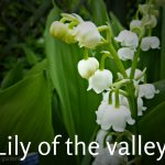 Lily of the valley 'Convallaria Majalis' (3) - Copy