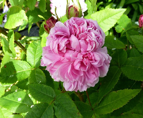 Rose Jacques Cartier