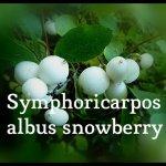 Symphoricarpus albus snowberry