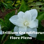 Grandiflorum flore pleno