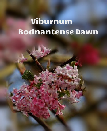 Viburnum Bodnantense Dawn