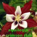 aquilegia crimson star