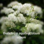 Thalictrum Aquilegiifolium Album