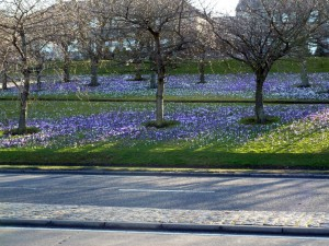 Crocus on entering Aberdeen from the South. March 10th