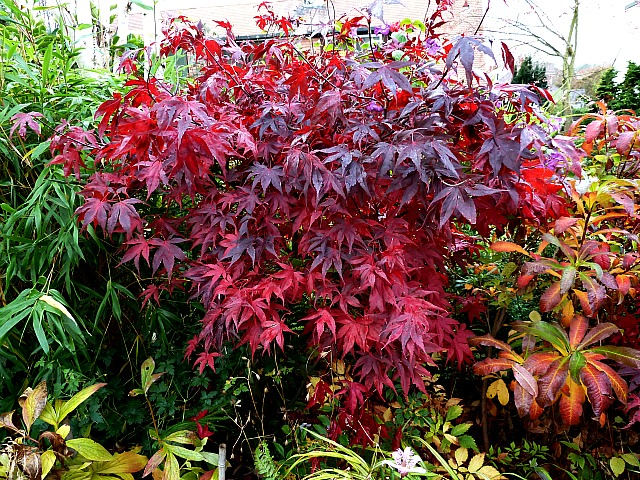 acer griseum does it grow well in scotland. Black Bedroom Furniture Sets. Home Design Ideas