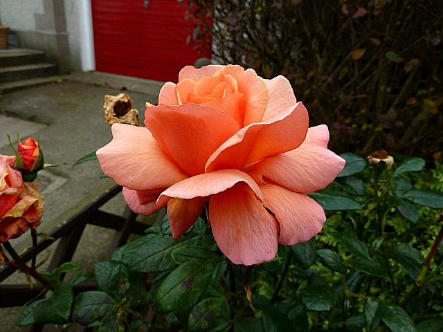 Laura Anne Hybrid Tea Rose
