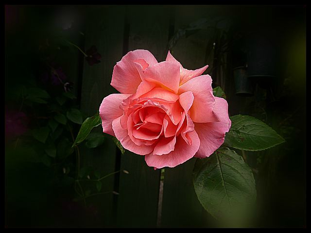 Climbing Rose Compassion 22nd September