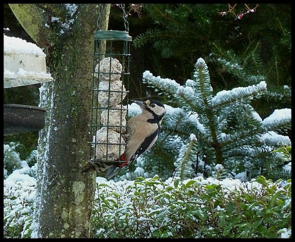 Greater Spotted Woodpecker (2)