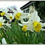 Daffodil Jack Snipe 03