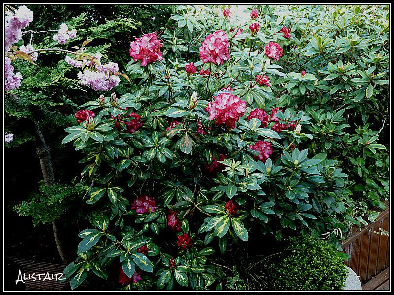 Rhododendron President Roosevelt