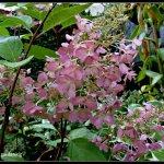 Hydrangea Pinky Winky (7)