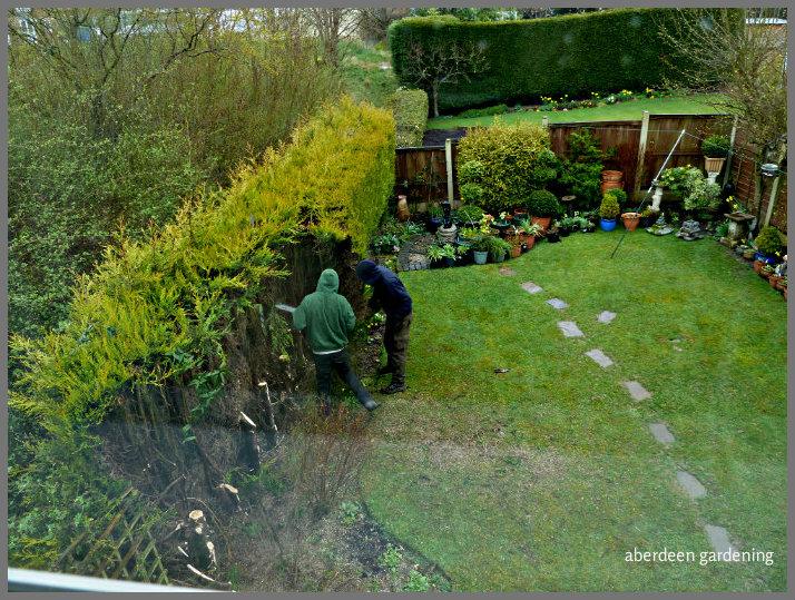Osmanthus Delavayi - Aberdeen Gardening