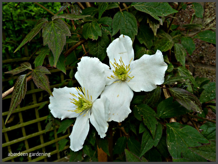 Clematis Montana Grandiflora Alba
