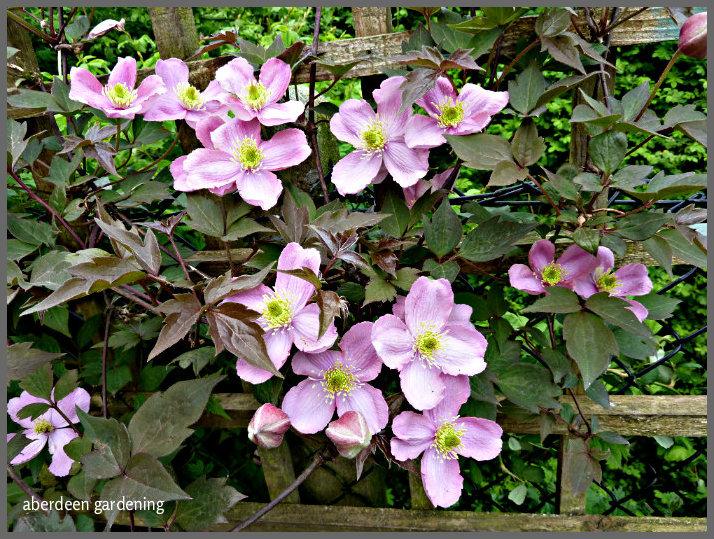 clematis montana mayleen in our cheshire garden aberdeen. Black Bedroom Furniture Sets. Home Design Ideas