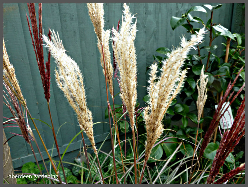 Miscanthus sinensis red chief (4)
