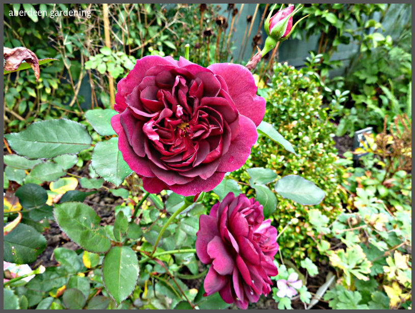pruning the david austin english rose darcey bussell. Black Bedroom Furniture Sets. Home Design Ideas