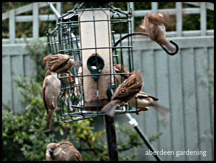 birds on the garden feeder 027