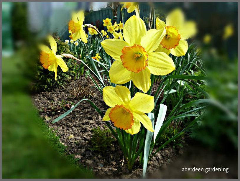 Daffodil Lotherio