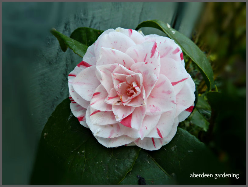 Camellia Japonica Contessa Maggi (2)