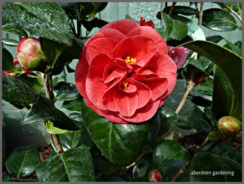 Camellia Japonica Lady Campbell (2)