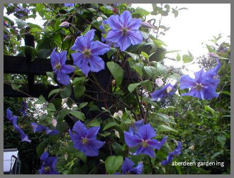 Clematis Perle d Azur (4)