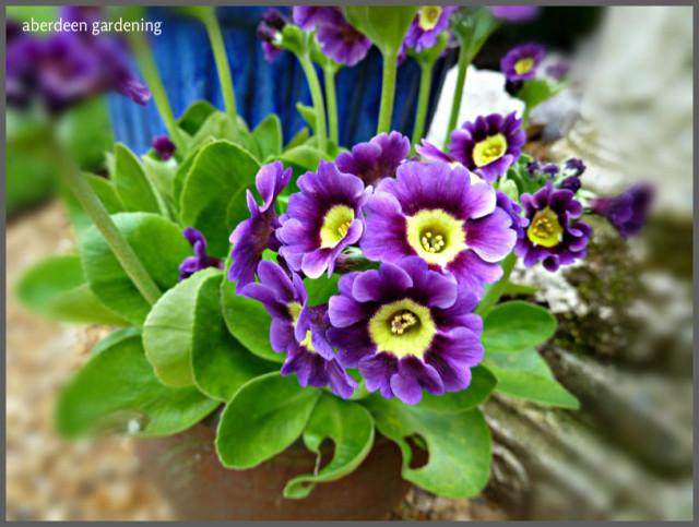 Garden Auriculas (3)