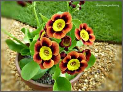 Garden Auriculas (8)