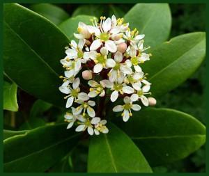 Skimmia Japonica (4)